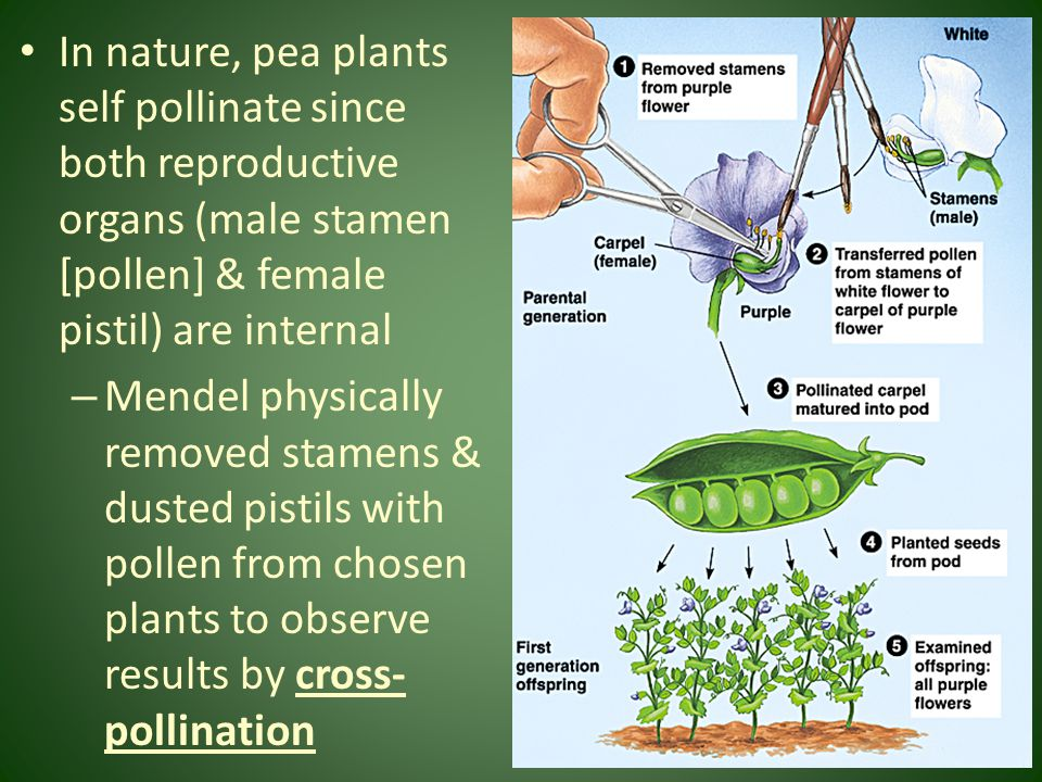 In nature, pea plants self pollinate since both reproductive organs (male stamen [pollen] & female pistil) are internal